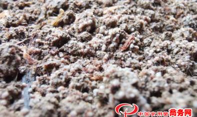 图解羊肚菌出菇期的5个阶段