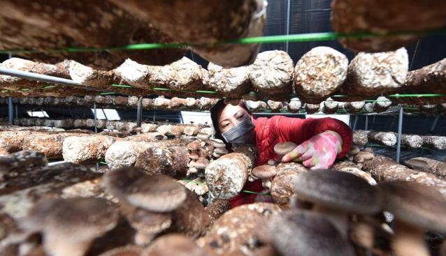 """河北定州:香菇迎丰收 撑起农民""""钱袋子"""""""