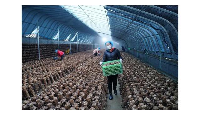 河北临城:香茹产业助农民在家门口实现增收