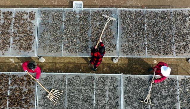 安徽五河:黑木耳迎采收期 农民荷包鼓起来
