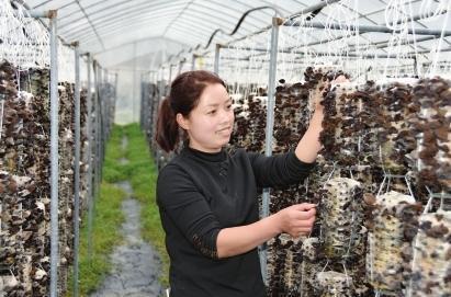 挂袋黑木耳助力农民就业增收