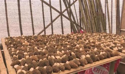 重庆:羊肚菌和竹荪大田轮种模式为农开