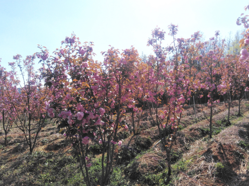 贵州:樱花树下套种大球盖菇 香飘致富