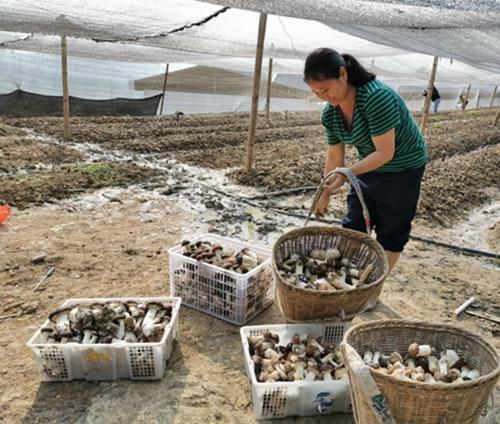云南:大球盖菇迎丰收 农民增收笑开颜