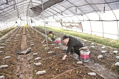 山西闻喜县:发展食用菌产业助力农民增