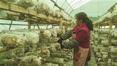 贵州安顺:香菇迎丰收 农民增收幸福来