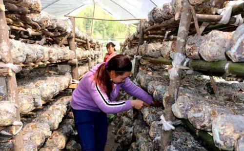 四川通江:香菇产销两旺助增收