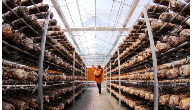 湖北郧阳:香菇产业助力易迁户就业增收