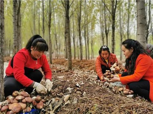 陕西:林下大球盖菇迎丰收 带动贫困户就业增收