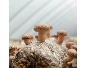 菌种批发 出菇快 采收多 优质菌种批发厂家直销