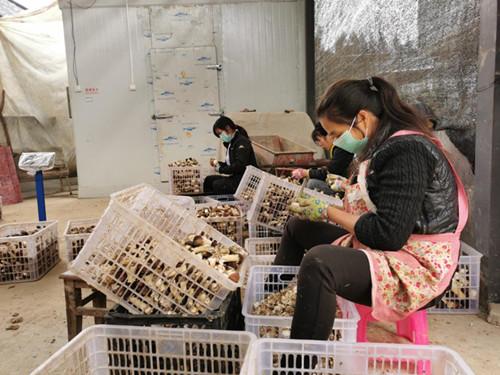 云南腾冲:大球盖菇产业让群众脱贫致富更稳固