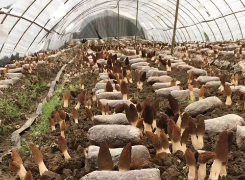 羊肚菌行业的拓荒者与先行者 ——专访绵阳市安州区保兴食用菌农业科技有限公司