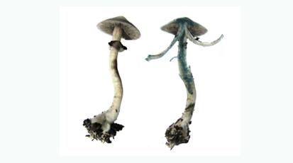 揭秘迷幻蘑菇采摘后為何會變成深藍色