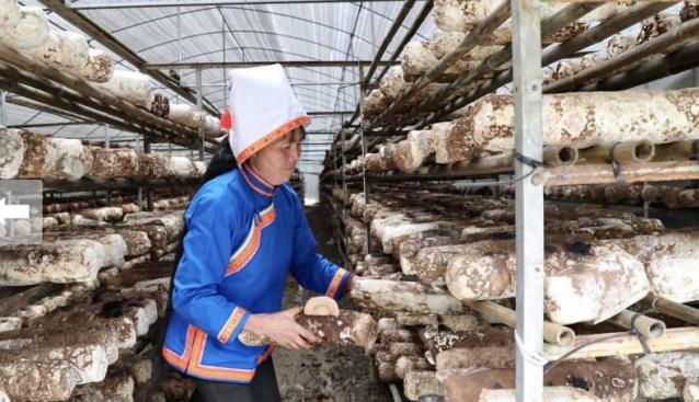 广西金秀:食用菌产业蓬勃发展