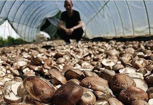 河南:泌阳花菇飘香国内外市场