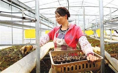 贵州:黑皮鸡枞菌进入丰产期 农民采摘增收忙