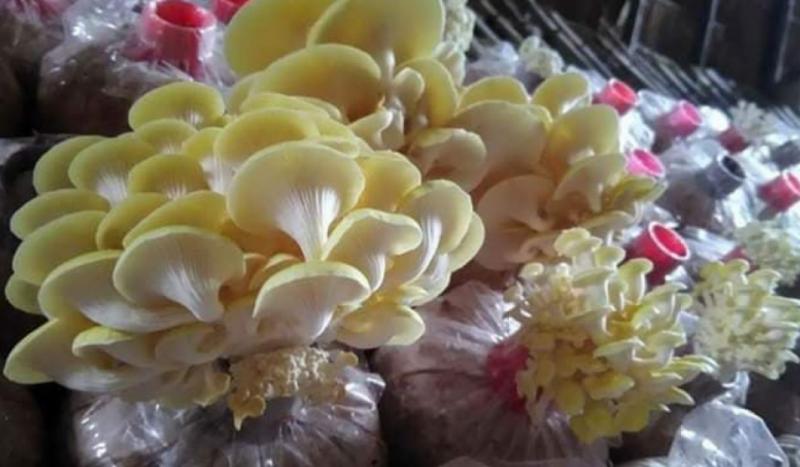"""泰国工程师夫妇转业发展食用菌产业 自创""""养生蘑菇面条""""受青睐"""