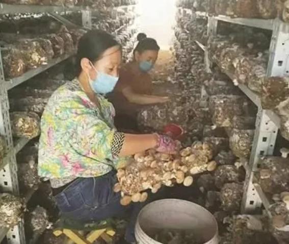 """山西:夏季香菇产销旺 成线上线下""""抢手货"""""""