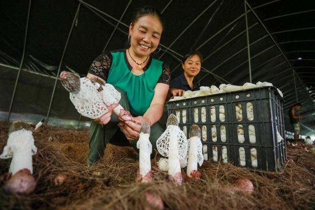 贵州黔西:竹荪迎丰收 农民喜增收