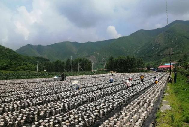 辽宁:发展黑木耳产业 带动群众走上致富路