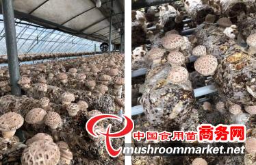 河南:获嘉县润辉生物花菇菌棒在韩国基地出菇 市场价格每公斤90-110元人民币