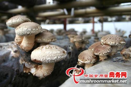 山西:因地制宜 全方位扶持食用菌產業