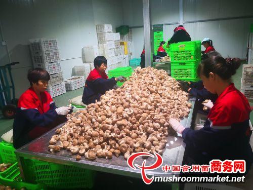 """陕西铜川市:香菇产业已成为农民增收致富""""新引擎"""""""