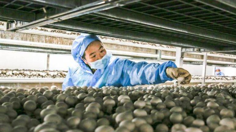 """安徽:定远县将食用菌种出新意 """"滚雪球""""效益日趋明显"""