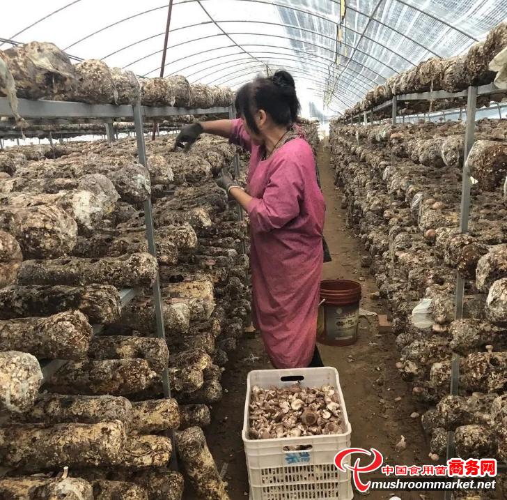 内蒙古巴彦淖尔市:因地制宜兴建花菇产业园 搭建贫困妇女就业服务平台