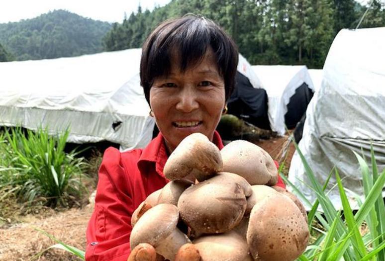 江西:峡江县300余亩夏菇喜迎丰收 燃起增收致富希望