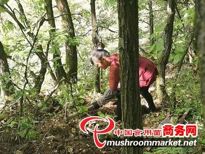 貴州畢節市:天麻種植走新路 農民增收有希望