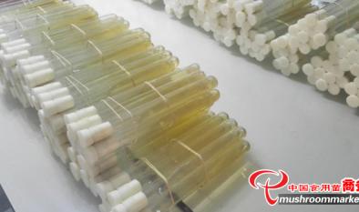 羊肚菌菌種生產中平皿的使用