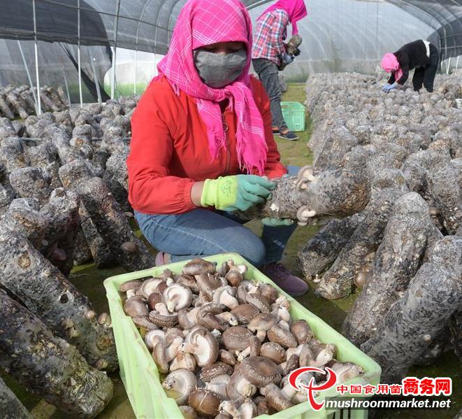 甘肃永靖县:调整产业结构 发展食用菌产业