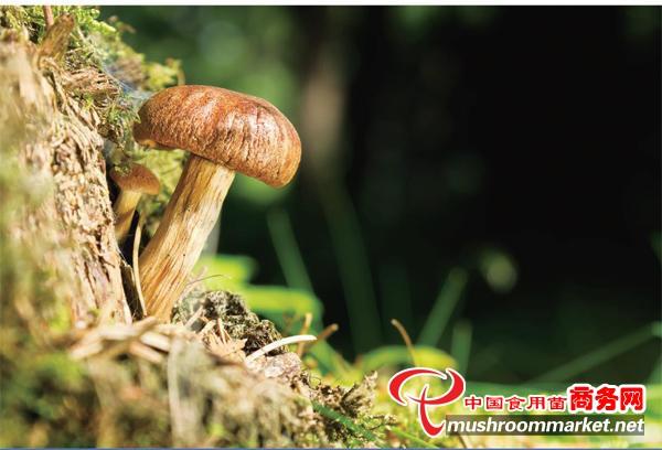 松茸首次被世界自然保護聯盟列入世界瀕危物種紅色名錄