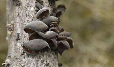 黑木耳段木栽培技術