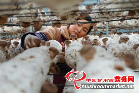 贵州道真县:大力发展食用菌产业 撑起贫困群众致富伞