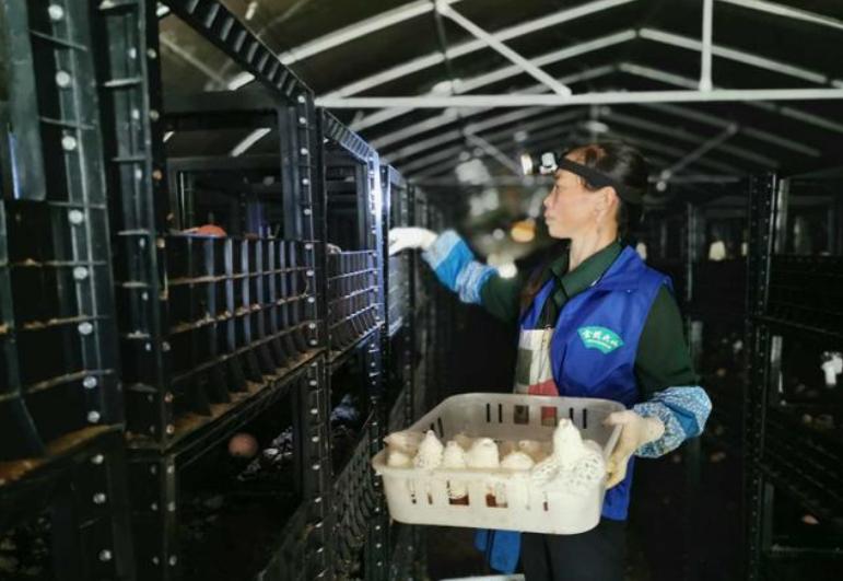 """贵州毕节市:小小食用菌为菇农脱贫奔康系上""""安全带"""""""