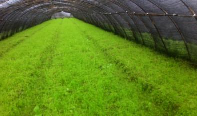 除草劑對羊肚菌產量是否有影響?
