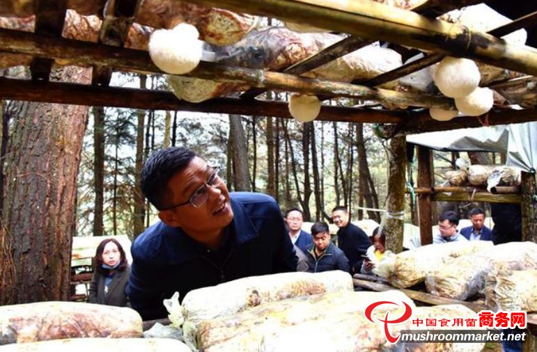 貴州六盤水:小小林下菌 綠了青山 富了民