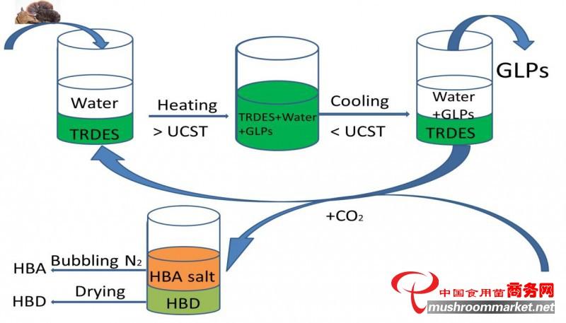 环保型萃取剂研发为灵芝多糖提取分离提供新方法