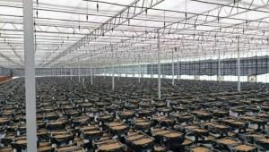陕西丹凤县:发展天麻产业 提升品牌影响力