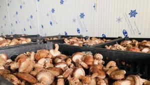 安徽利辛县:在菌菇深加工上做文章 进一步带动增收