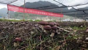 """贵州紫云县""""利用香菇菌渣培育大球盖菇""""生产模式示范成功"""