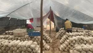 陕西蓝田县:种植平菇 圆了致富梦