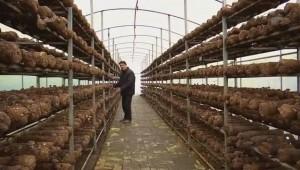 贵州安龙县:发展现代化食用菌产业 提供菌包、技术、销售等一条龙服务