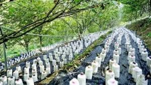 贵州望谟县:林下发展食用菌种植产业 推进农村产业革命
