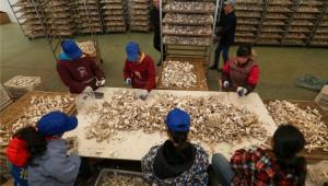 贵州玉屏县:工厂化生产食用菌 助农增收