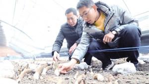 """内蒙古呼和浩特市:培育羊肚菌 撑起""""致富棚"""""""