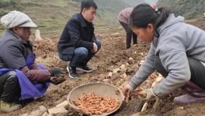 """贵州大方县:发展天麻278亩 """"小天麻""""成""""致富果"""""""