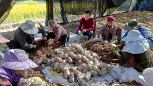 云南华坪县:羊肚菌种植助农增收